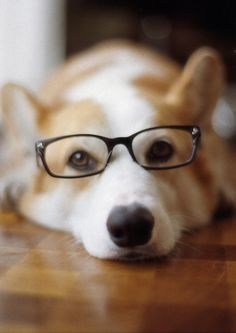 I really like this. You know, I did better on Jeopardy then most humans. #dog #glasses