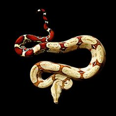 The Red-tailed Boa (Boa c. constrictor) is an extremely popular captive species of boa constrictor that sports a visually striking deep red tail.