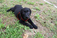 Ziggy - 3 months black Puppy Labrador