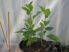 Cómo cultivar un manzano desde una semilla