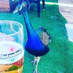 #peacock #beautiful #Australia #rottnestisland #rotteness #heineken #drinks #goodtimes #relax #sun by carlasummer87 http://ift.tt/1L5GqLp