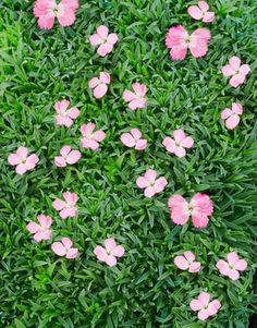 How to Find the Right Ground Cover Perennials  Dianthus 'Sternkissen'   A variety of the moderately spreading Dianthus gratianopolitanus, featuring blue-green foliage and clove-scented pink flowers. It requires relatively little water. ZONES 3-9