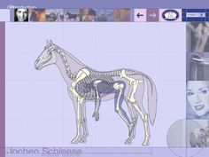 similarities and differences between human and equine skeletal systems