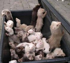 An adorable business of ferrets!