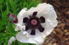 poppy in white