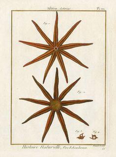 Afterie Asterias, Starfish