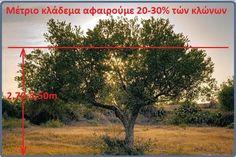 Παραγωγικό κλάδεμα της Ελιάς ποικιλία κορωνέικη
