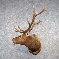 Rocky Mountain Elk Head Taxidermy Shoulder Mount For Sale Elk Head, Taxidermy For Sale, Rocky Mountains, Wolves, Bears, Moose Art, Wildlife, Fox, Shoulder