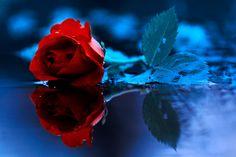 roza by kokoszkaa.deviantart.com on @deviantART