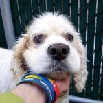 BLINKY A1108525\r\n\r\nMALE, WHITE, COCKER SPAN MIX, 10 yrs\r\nSTRAY ONHOLDHERE, HOLD FOR OWNER DIED Reason OWNER DIED\r\nIntake condition GERIATRIC Intake Date 04\