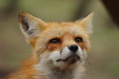 Zao Fox Village: Where all your cutes are belong to us | RocketNews24 on We Heart It