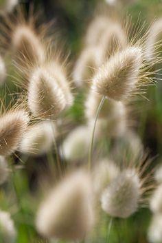 Lagurus ovatus (graminée annuelle)