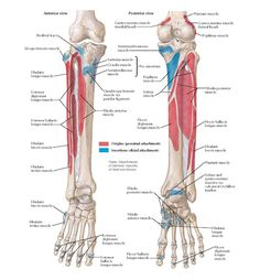 Muscles Origin And Insertion Lower Limb Muscle Origin And Insertion - Anatomy Organ - Human Body Anatomy System