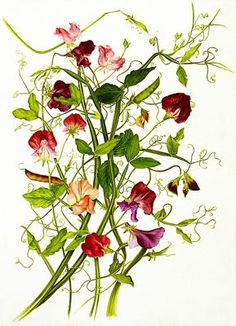 Lathyrus odoratus. Watercolor on Paper © milly acharya | American Society of Botanical Artists