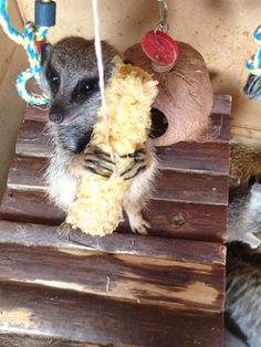 Meerkat enrichment, corn on the cob... Zorro (Alpha Male) has decided to keep this one for himself.