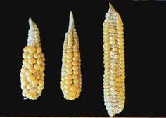 Boron deficiency in corn, from http://aesl.ces.uga.edu/DiagnosticsII/Symptoms_/Corn/Images-Corn/images-corn.html