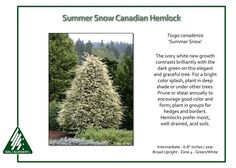 Tsuga canadensis 'Summer Snow'