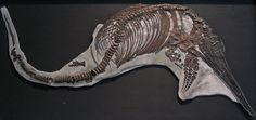 Excellent specimen of Ichthyosaurus