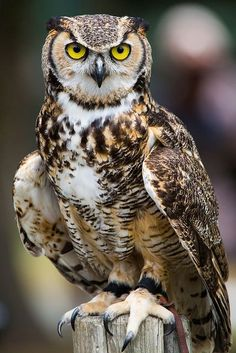 """cloudyowl: """" Great Horned Owl by Jason.Low """""""