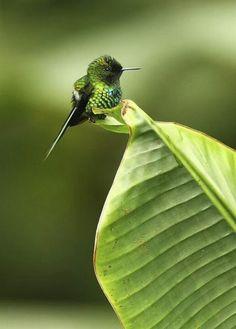 葉の上安っぽいハチドリ