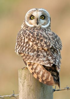 #marron #brown Color Malibu. Ron de coco Malibu. Short-Eared Owl