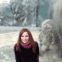 funny gifs, gifs of the week, zoo tiger attacks glass