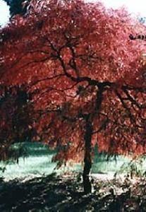 Crimson Queen Japanese Maple 7 Seeds - Acer- Bonsai