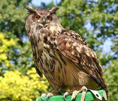 Vogelarten in der Schweiz: Uhu