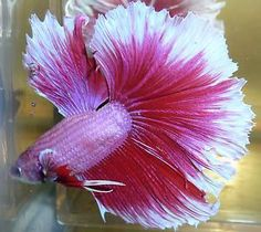 Pretty Pink Red White Butterfly Halfmoon Male Live Betta Fish