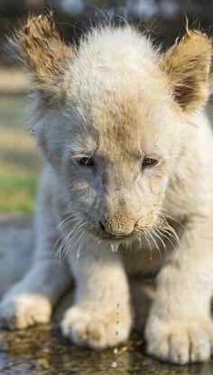 "llbwwb: "" Shy white lion cub (by Tambako the Jaguar) """
