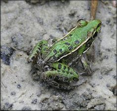 The Southern Leopard Frog has an interesting call that sounds like chuckles mixed in with the sound of a thumb rubbing on a balloon.  Hear it here: www.arkansasfrogsandtoads.org/southern-leopard-frog/