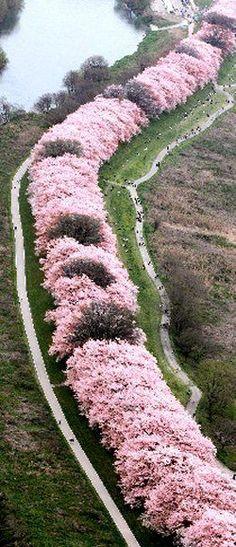 """Tunnel of cherry tree"" Kyoto, Japan"