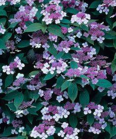 Hydrangea serrata 'Bluebird' (Hortensia), schermbloemen, prachtige rode herfstkleur, mooie soort, kan in schaduw