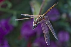 Dragonfly ..EXPLORE by Bonemer ( Abdulaziz Al - Duwisan ), via Flickr