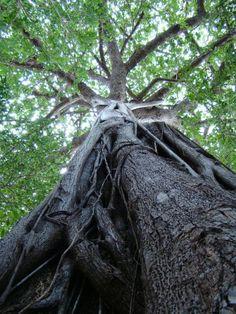 Gameleira ou Figueira-brava (Ficus organensis)