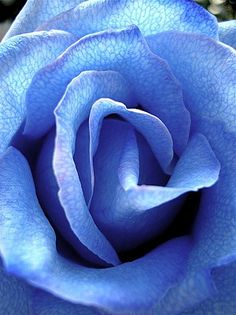 ~~La Rosa Azul - The Blue Rose by Romulo Moya Peralta~~ Amazing Flowers, Beautiful Roses, My Flower, Beautiful Gardens, Beautiful Flowers, Single Rose, Love Blue, Shades Of Blue, Red Roses