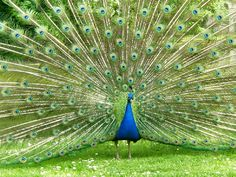 """"""" . . . Mrs. Purefoy was deathly frightened of peacocks."""""""
