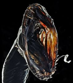 Black Dragonfish (Idiacanthus atlanticus)
