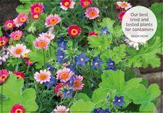 Anagallis monellii 'Sky Lover' and Argyranthemum 'Cherry Red' - Sarah Raven