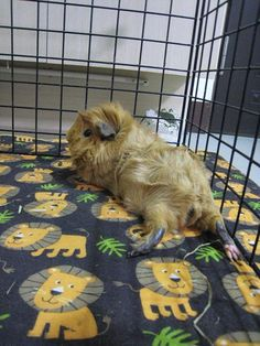 Cute red guinea pig in an enclosure with a fabric floor to o match the cuteness level of the piggy (a tough thing to do!)