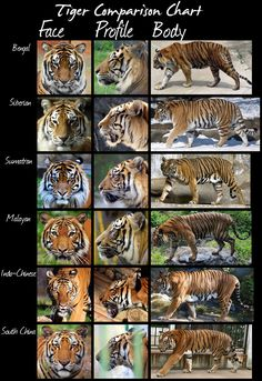 The tiger (and there's not just one!)         The tiger is thelargestwild cat species on the globe. Easilyrecognizedby its orange and bl...