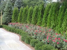 landscaping privacy trees for backyard privacy landscape privacy trees backyard landscaping ideas fall in love with landscaping ideas landscaping privacy plants Arborvitae Landscaping, Privacy Landscaping, Backyard Privacy, Outdoor Landscaping, Front Yard Landscaping, Landscaping Ideas, Backyard Ideas, Fence Ideas, Pool Ideas