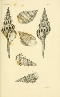 1764-shell.pencil.drawing.wdyt?.Heritage.Libary
