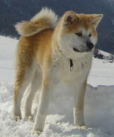 The Akita (Akita-inu?) is a large spitz breed of dog originating from the mountainous northern regions of Japan.