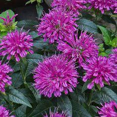 Bee Balm (Monarda) Pardon My Purple is a compact Monarda Zone Zone 4 Perennials, Deer Resistant Perennials, Purple Flowers, Beautiful Flowers, Purple Lace, Bee Balm Plant, Late Summer Flowers, White Flower Farm, Cactus