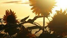 HD Sunflower Wallpaper for desktop My Flower, Flower Power, Sunflower Pictures, Sunflower Wallpaper, Happy Flowers, Sunflower Fields, Sunset Pictures, Festival Lights, Harvest Moon