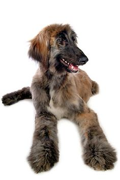 afghan hound puppy...Rogue, best Dog I ever had and would have to be in my Guy House.