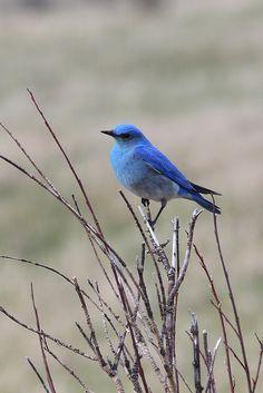 Merlebleu azuré - Mountain Bluebird - Azulejo Claro - Azzurrino montano - Berghüttensänger ( Sialia currucoides )
