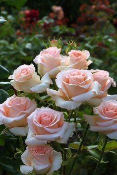 Hybrid Tea Rose: Rosa 'Cubana' (Germany, 1988) #rosesgarden