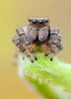Jumping spider frontal ~ By John Hallmén